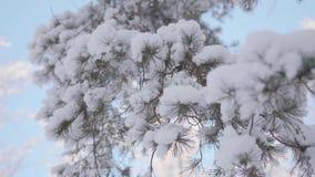 Rama nevada del abeto en parque del invierno en un fondo del cielo azul metrajes