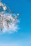 Rama nevada del alerce en el cielo azul Fotos de archivo libres de regalías