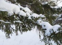 Rama nevada hermosa del abeto en parque del invierno Imagen de archivo libre de regalías