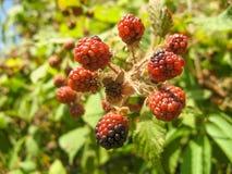 Rama orgánica salvaje de la zarzamora de las zarzamoras Las zarzamoras maduras e inmaduras crecen en el arbusto en verano imágenes de archivo libres de regalías