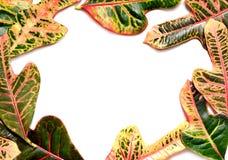 Rama robić zielony i żółty liść na białym tle Fotografia Royalty Free
