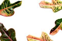 Rama robić zielony i żółty liść na białym tle Zdjęcie Royalty Free