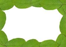 Rama robić zielony wiosny czereśniowego drzewa liść Zdjęcie Royalty Free