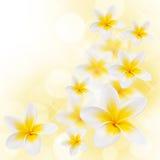 Rama robić frangipani kwiaty Fotografia Stock