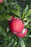 Rama roja de las manzanas de la gala Fotografía de archivo