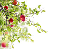 Rama roja del ciruelo, aislada en blanco Imagen de archivo libre de regalías