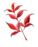 Rama roja pintada a mano de la acuarela en blanco stock de ilustración