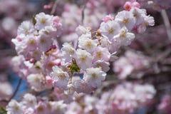 Rama rosada de la flor de cerezo Imagenes de archivo