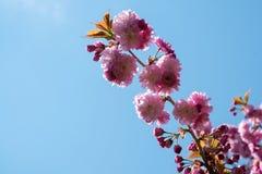 Rama rosada de la flor de cerezo Fotos de archivo