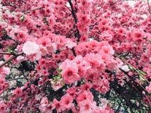 Rama rosada de la flor de la peonía del vintage Foto de archivo