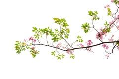 Rama rosada de la flor y de árbol aislada en el fondo blanco imagenes de archivo