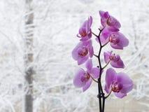 Rama rosada de la orquídea antes de la ventana del invierno Imagen de archivo