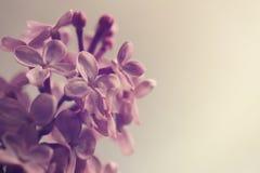 rama rosada del flor de la lila en el fondo beige ligero - colores silenciados con instinto del vintage foto de archivo