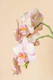 Rama rosada del phalaenopsis de la orquídea del melocotón Imagenes de archivo