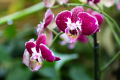 Rama rosada oscura de la orquídea en invernadero Imagenes de archivo