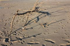 Rama seca de Brown arbusto traído en la playa arenosa por la corriente de mar tempestuosa fotografía de archivo libre de regalías