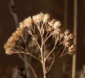Rama seca de flores Primer Imagenes de archivo