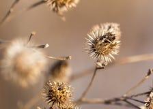 Rama seca de flores Primer Fotografía de archivo