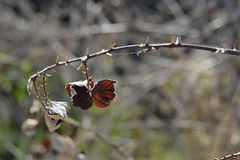 Rama seca del escaramujo, República Checa, Europa Imagen de archivo