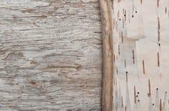 Rama seca en la corteza de abedul y la madera vieja Imagen de archivo libre de regalías