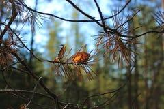 Rama Spruce, bosque, agujas spruce, naturaleza Imagen de archivo libre de regalías