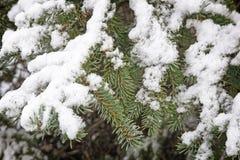 Rama Spruce cubierta con nieve Imagen de la referencia Fotografía de archivo libre de regalías