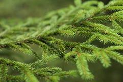 Rama Spruce en el bosque Fotos de archivo