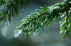 Rama Spruce en el invierno Fotos de archivo libres de regalías