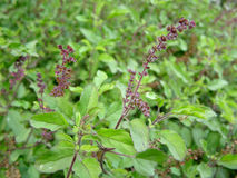 Rama Tulsi plant Royalty Free Stock Images