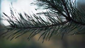 Rama verde asombrosa del pino al aire libre cerca para arriba metrajes