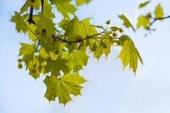 Rama verde blanda contra el cielo, símbolo de la primavera, floraciones de la naturaleza fotos de archivo