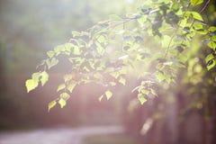 Rama verde blanda en la luz del sol, símbolo de la primavera, floraciones de la naturaleza foto de archivo libre de regalías