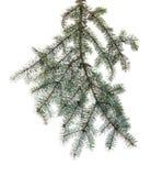Rama verde de la picea con las agujas en fondo aislado Imagen de archivo libre de regalías