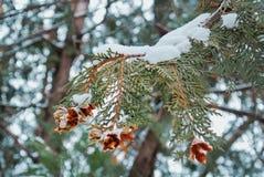 Rama verde de los thujas cubiertos con la nieve en el parque Foto de archivo