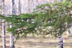 Rama verde de un abeto Imagen de archivo