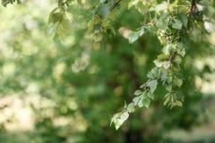 Rama verde del árbol de abedul en el fondo borroso, foco selectivo Fotografía de archivo libre de regalías