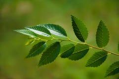 Rama verde del olmo Foto de archivo libre de regalías
