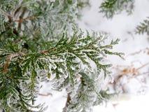 Rama verde del pino del árbol conífero asperjada con nieve y congelada con escarcha Imagenes de archivo