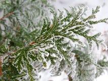Rama verde del pino del árbol conífero asperjada con nieve y congelada con escarcha Imágenes de archivo libres de regalías