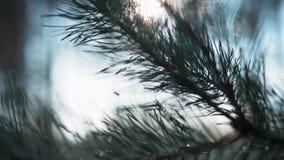Rama verde del pino que sorprende al aire libre metrajes
