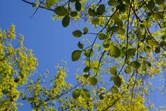 Rama verde en fondo del cielo azul Foto de archivo libre de regalías