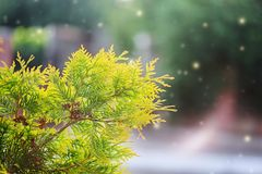 Rama verde hermosa de los árboles del Thuja con el fondo suave de la luz del sol fotos de archivo libres de regalías