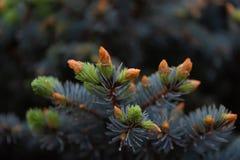 Rama verde joven de la picea en tiempo de primavera en el jardín Fondo hermoso borroso naturaleza raindrops Profundidad del campo imagenes de archivo