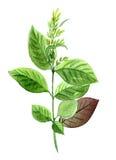 Rama verde, paintind botánico de la acuarela ilustración del vector