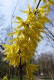 Rama vertical de la forsythia cubierta con las flores amarillas Foto de archivo