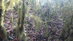 Rama y árbol cubiertos con el musgo en bosque metrajes