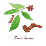Rama y corteza de árbol de sándalo stock de ilustración
