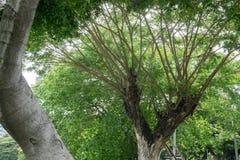 Rama y hojas del árbol del verdor Foto de archivo