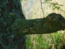 Rama y musgo interesantes de árbol Imagen de archivo libre de regalías