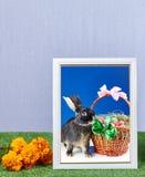 Rama z fotografia królika fotografią i kosz z Easter jajkami dekorowaliśmy z łękami Fotografia Royalty Free